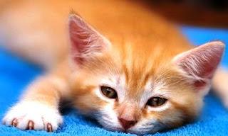 Ciri-ciri Kucing Sakit dan Cara Menyembuhkan Kucing Sakit Tanpa Harus Pergi Ke Dokter