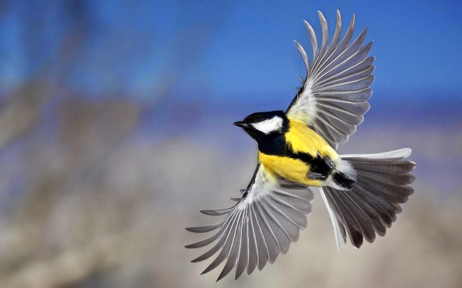 Wallpapers: Flying Birds Wallpapers