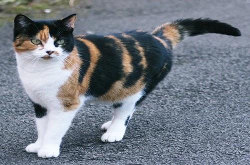 هل قطط كاليكو دائما أنثى