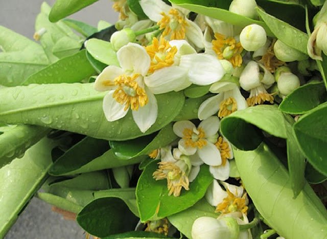 Hanoi scented with grapefruit flowers 5