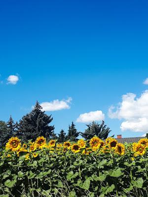 słoneczniki | widoczki | malownicze pejzaże | austria