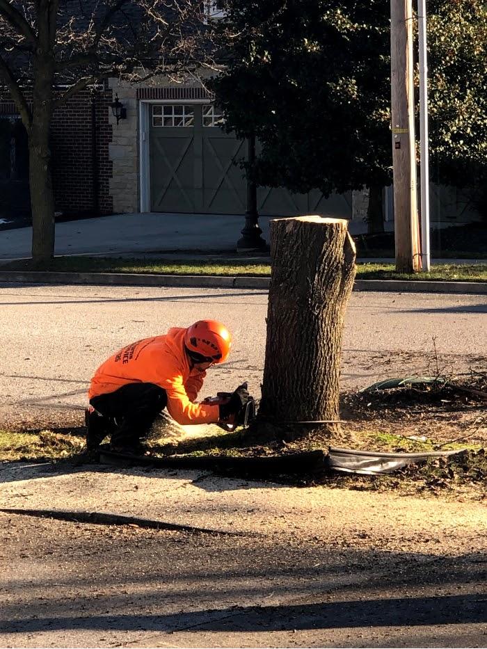 Cutting tree down to stump