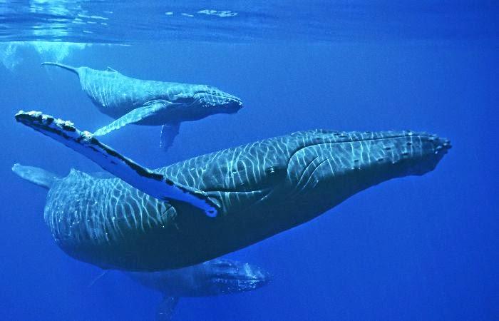 Como o ancestral da baleia deixou de ser um animal terrestre?