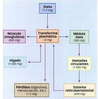 metabolismo anaerobico lactico con el estrés