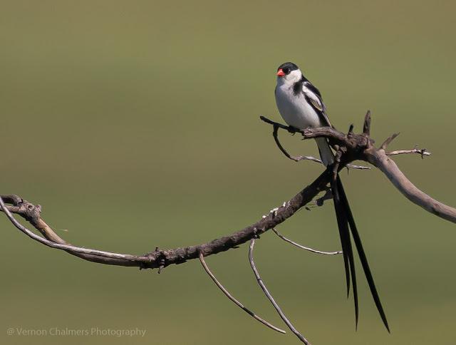 Pin-tailed Whydah (Koning Rooibekkie) - Table Bay Nature Reserve