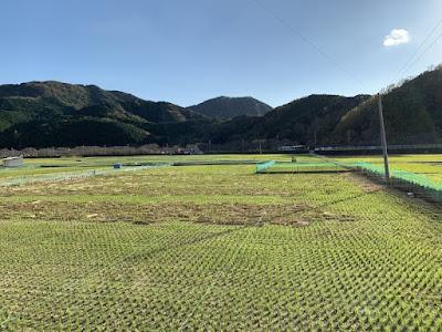 桜田温泉向かいの田んぼ