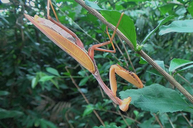 Dlium Golden-armed mantis (Hierodula venosa)
