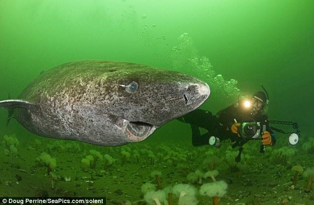Un tiburón de 400 años es el vertebrado más longevo