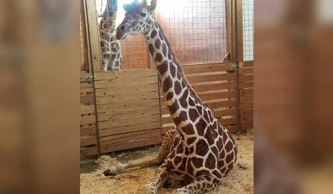 April the Giraffe Facebook