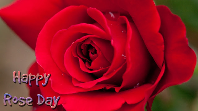 Red-rose-greeting-wallpaper-for-rose-day