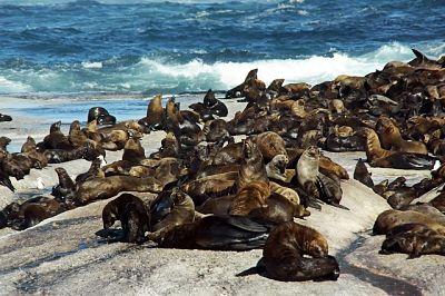 Lobos de mar en la costa, sobre las rocas