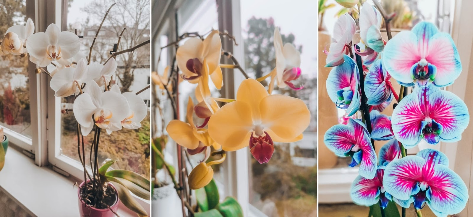 orchidea_storczyk