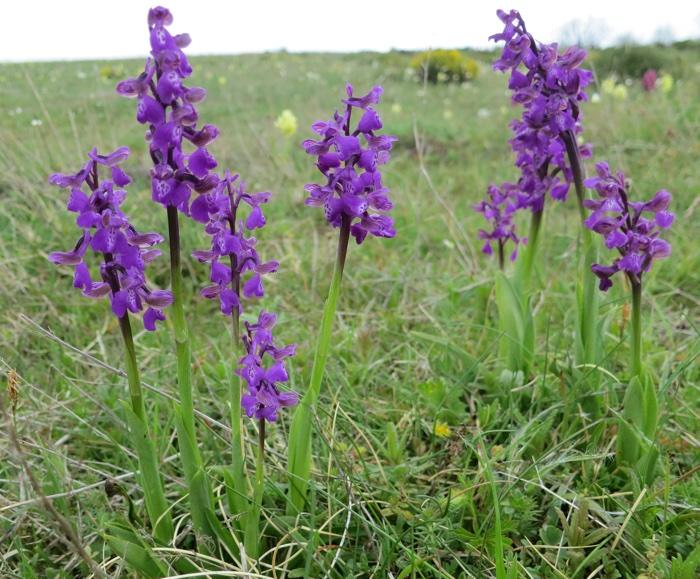 orchis fleurs laches