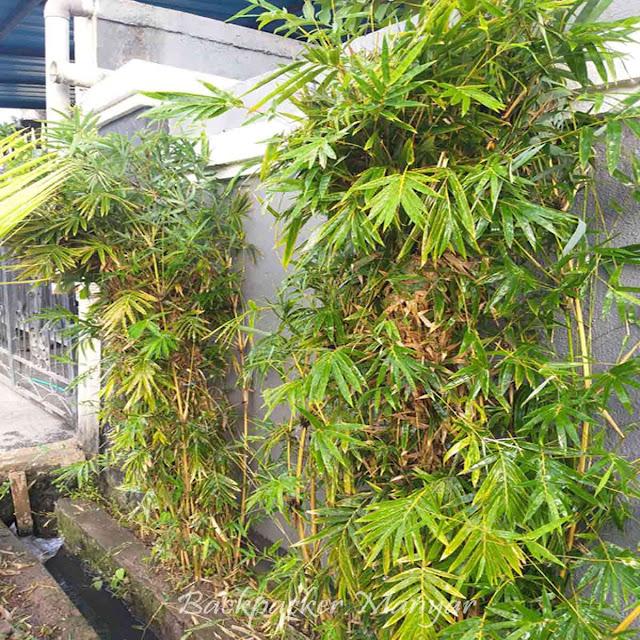 manfaat bambu bagi lingkungan hidup