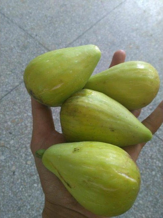 Bibit buah tin Dalmatie rusia Terlaris Cilegon