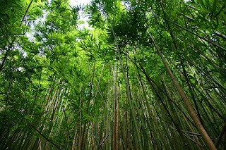 gambar bambu hijau
