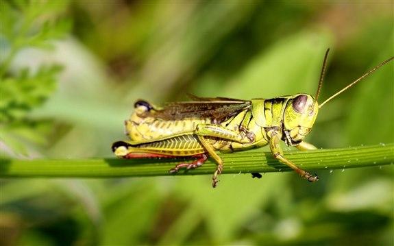 Cırcır Böceği - C hayvan isimler