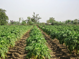ORGANIC CULTIVATION OF PAPAYA