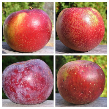 Four fine looking heritage apples