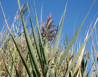 Carrizo (Phragmites australis)