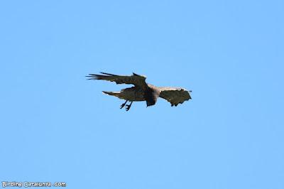 Àguila marcenca fent l'aleta
