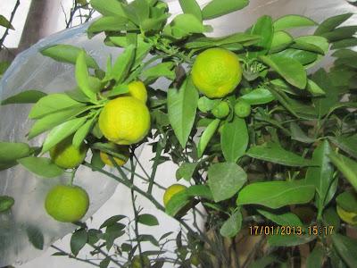 paraziták citrom betegségekkel