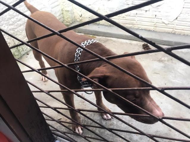 Há três dia de adotado, cachorro Pit Bull ataca a própria dona e mais 3 pessoas no RN