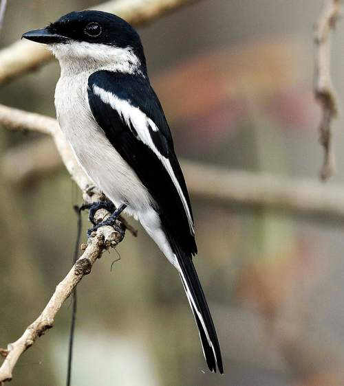 Bar-winged flycatcher-shrike - Hemipus picatus
