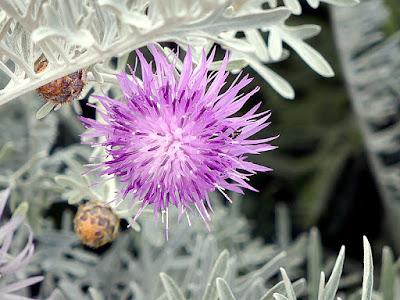 Dusty Miller bloom at the LA Arboretum