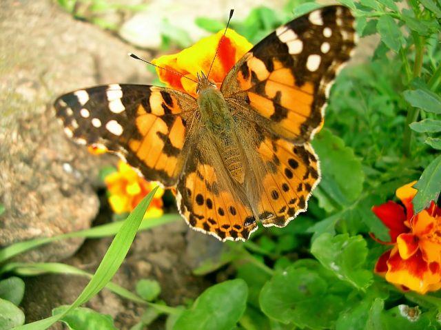 motyl, łąka, kwiaty, fotografia przyrodnicza
