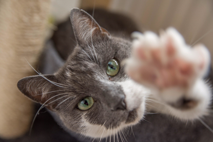 grey-and-white cat holding out paw