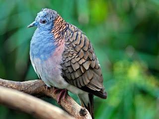 burung-perkutut-lokal-bangkok.jpg