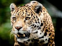 İleriye bakan bir jaguar hayvanının önden görünüşü