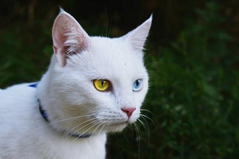 القطط ذات العيون المختلفة اللون