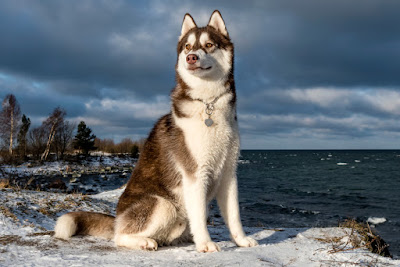 Iceland dog sledding Siberian husky