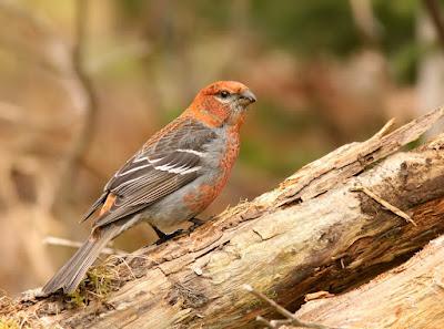 Pine Grosbeak Newfoundland