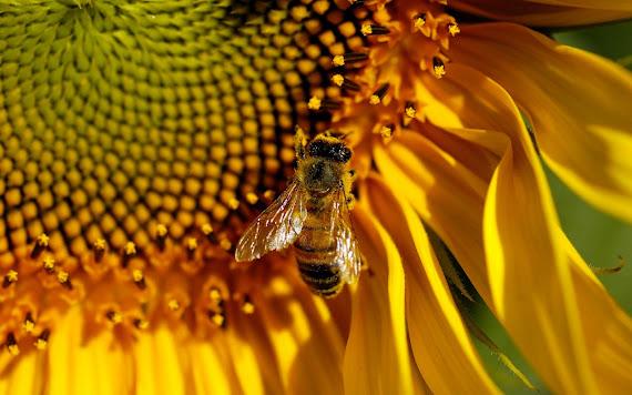 Pčela download besplatne pozadine za desktop 1440x900
