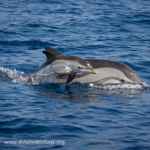 Dolphin Biology and Conservation: Striped dolphin baby - 3