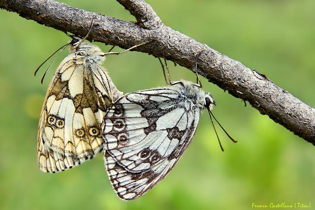 Cópula de mariposas Melanargia galathea