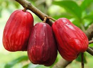 jambu air jamaika jambu bol buah jambu jamaika resep buahkan jambu jamaika budidaya jambu jamaika pohon jambu jamaika