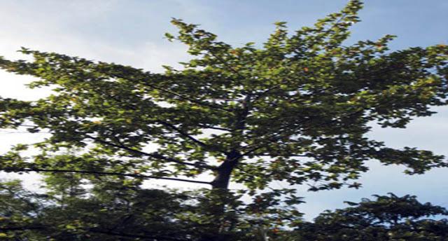 Ciri-Ciri Pohon Jabon (Anthocephalus sp)
