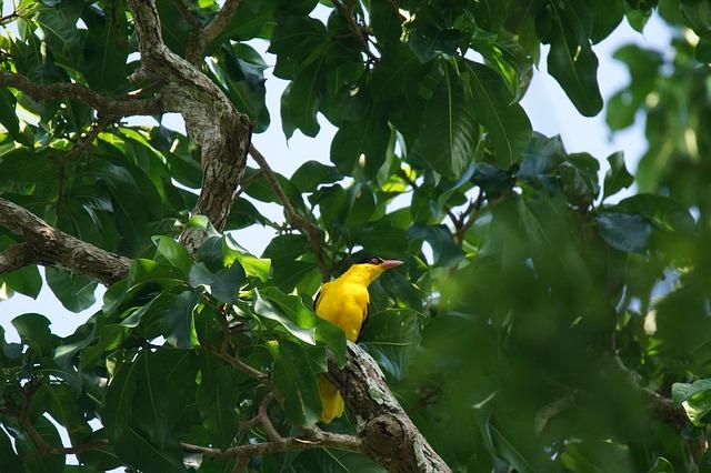 Mengenal Burung Kepodang Serta Mitos Dan Filosofinya Satwa Foresteract Com