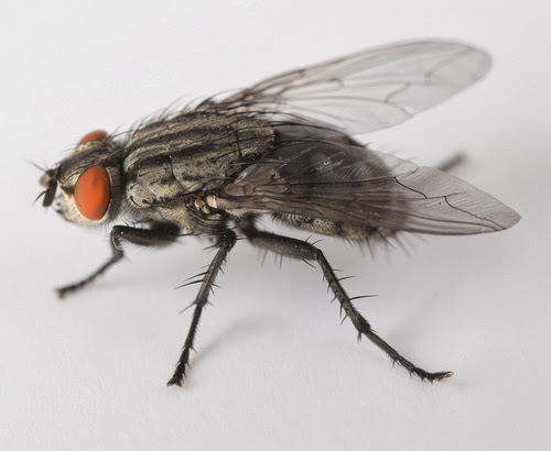 masalah lalat