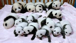 Resultado de imagen de osos panda bebes