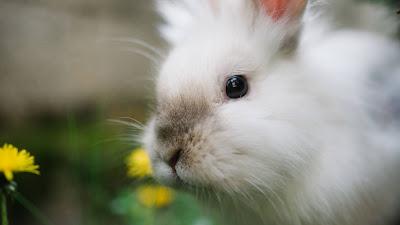 Free white rabbit wallpaper, fluffy, cute