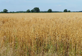 ¿Cómo reconocer los campos de cereales? (Desde lejos): Avena