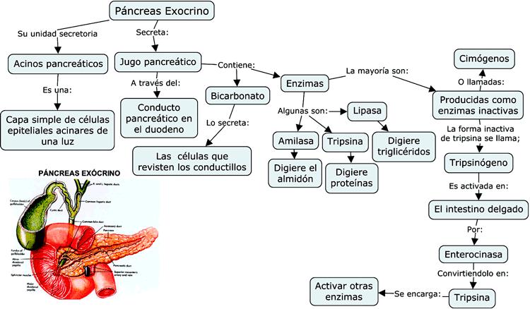 Mapa conceptual del Páncreas exocrino