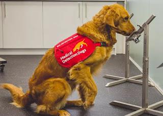 cães conseguem farejar câncer