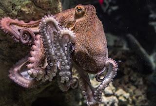 Octopuses three hearts