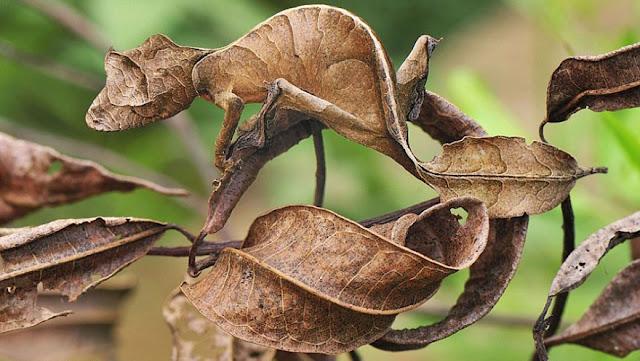 Lagartixa-satânica-cauda-de-folha - Uroplatus phantasticus